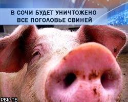 В Сочи будет уничтожено все поголовье свиней